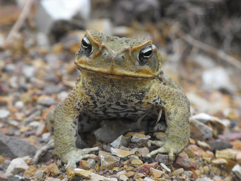 Cane Toad | © snarsy / Pixabay