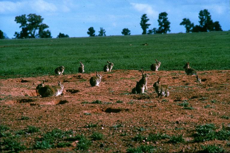European rabbit in Australia | © CSIRO / WikiCommons