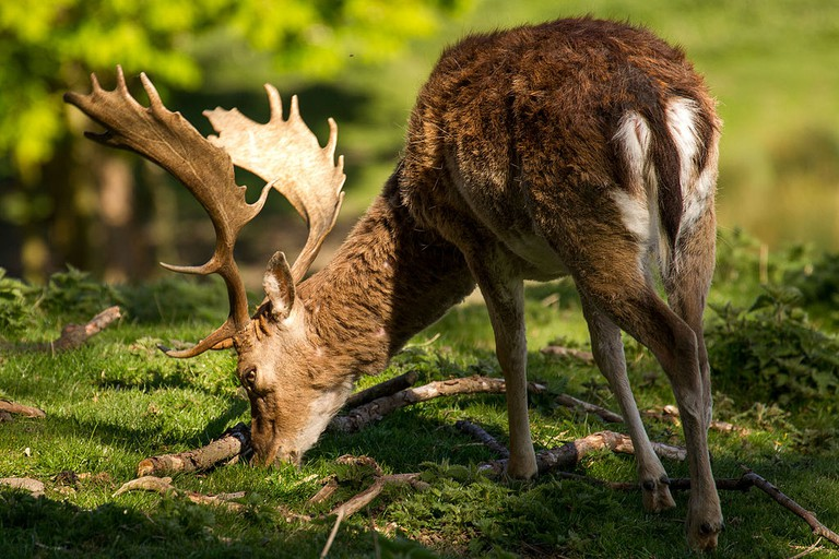 Fallow deer | © Michael Palmer / WikiCommons