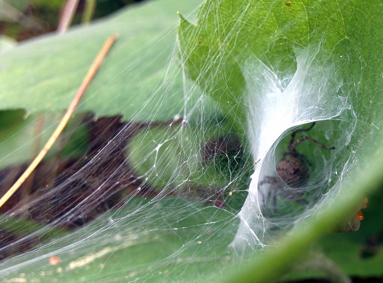 Funnel Web Spider | © USFWSmidwest / Flickr