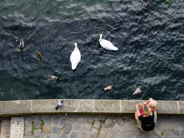 Swans near l'Île Saint-Louis