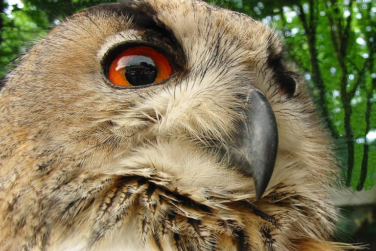 A big-eyed owl residing at the Zwin nature reserve | © Philippe Teuwen/Flickr