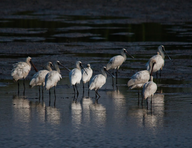 Black-faced Spoonbills | Darren Bellerby/CC BY 2.0/Flickr