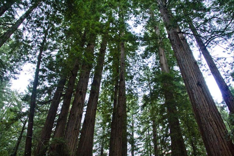 The Redwoods © Bill Taroli/Flickr