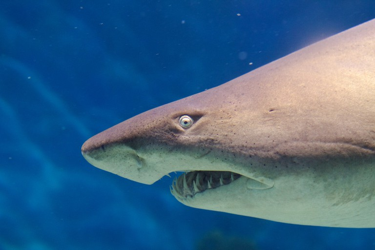 Grey nurse shark | © VirtualWolf / Flickr