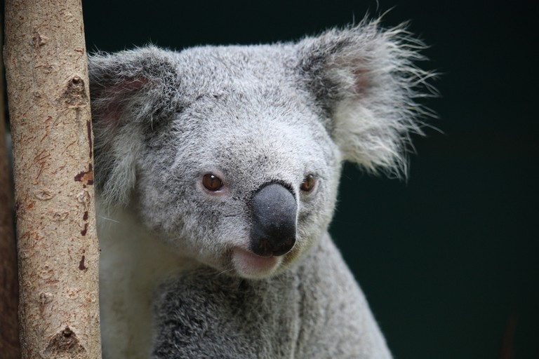 Koala at Australia Zoo   © craigles75 / Flickr