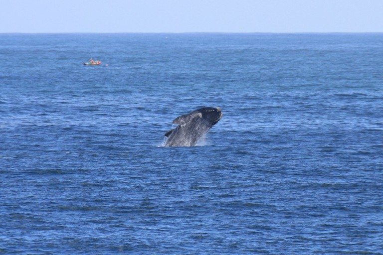 A Southern Right whale breaches in Walker Bay, Hermanus