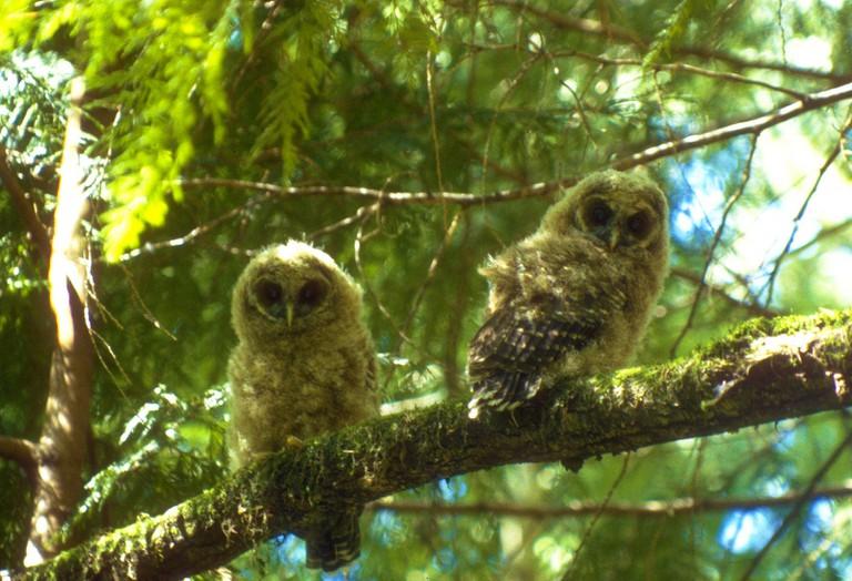Northern spotted owls © Bureau of Land Management Oregon and Washington/Flickr