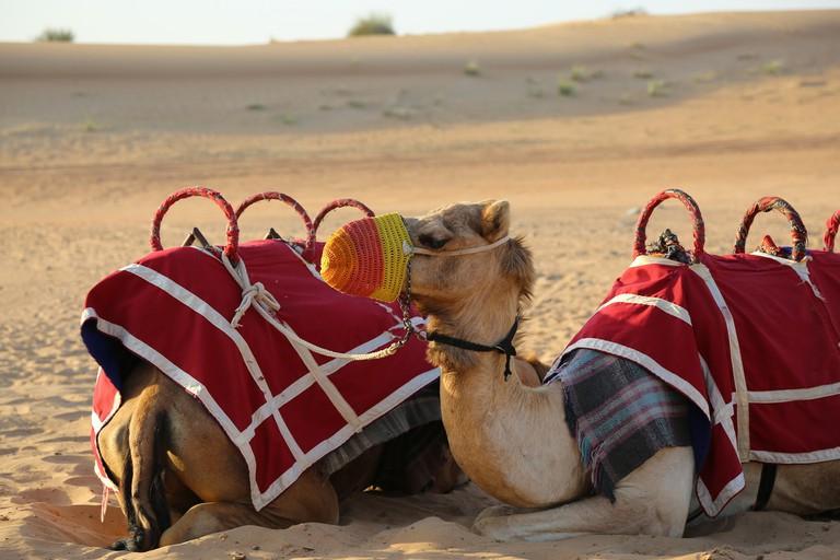Camels | © chidioc/Pixabay