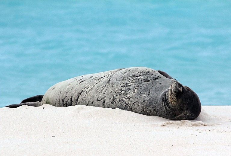 Hawaiian monk seal | © U.S. Fish and Wildlife Service Headquarters/Wikicommons