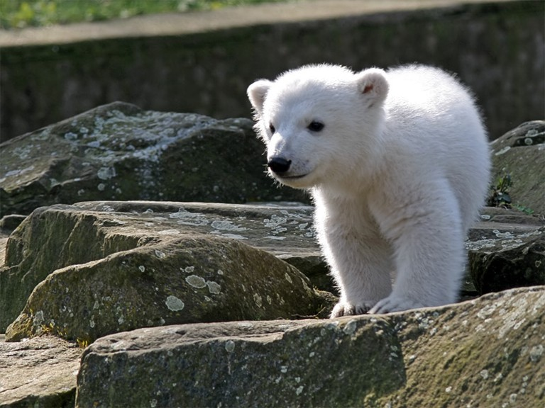 Knut   © Jensk369 (Jens Koßmagk)/WikiCommons