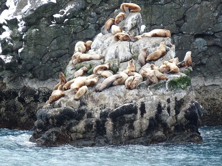 Sea lions in Kenai Fjords National Park | Public Domain/Wikicommons