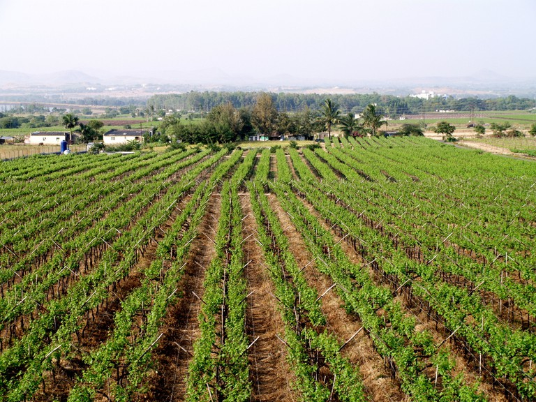 Vineyard in Nashik