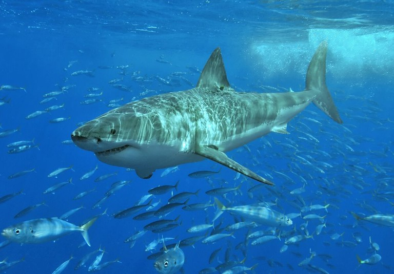 White shark | © Pterantula / WikiCommons