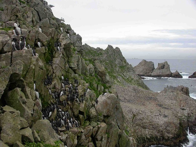 Common Murre colony on Farallon Islands © Sabine's Sunbird/Wikipedia