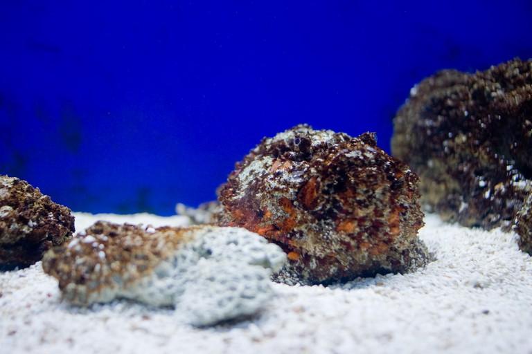 Stonefish | © Kenneth Lu / Flickr