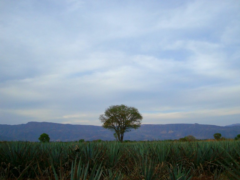 Blue agave plant | © jay8085/Flickr