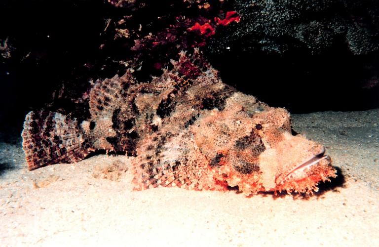 Stonefish | © NOAA Photo Library / Flickr