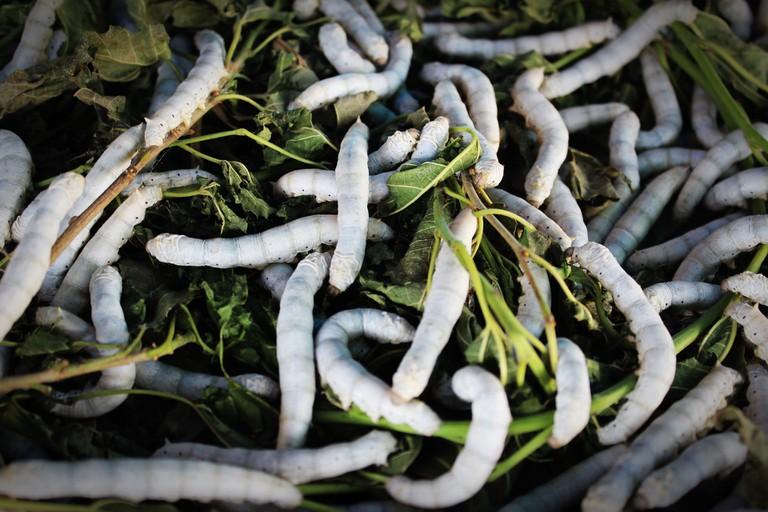 Silkworms in Thailand