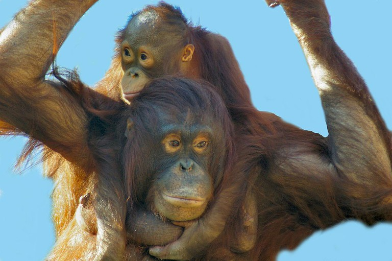 Orangutan motehr and baby | © Bonnie U. Gruenberg/WikiCommons