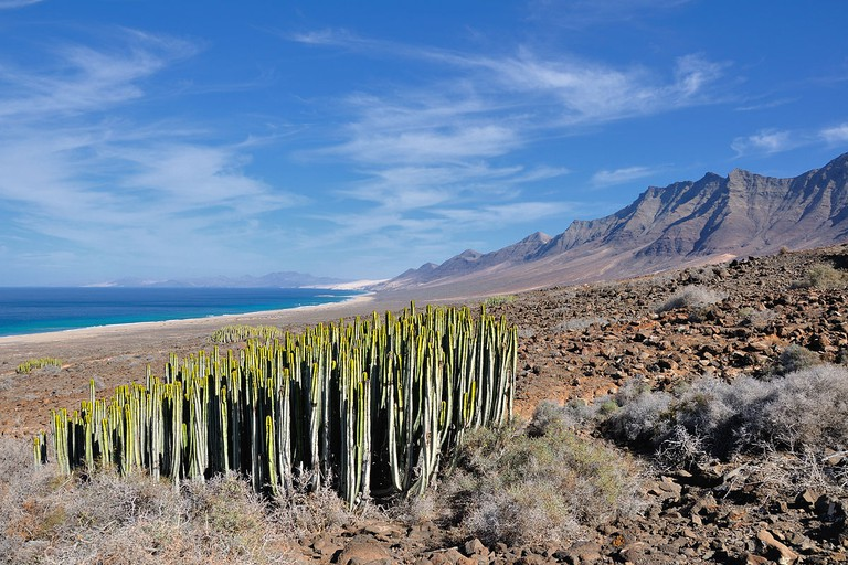 Canary Island spurge in Fuerteventura, Canary Islands | © Hansueli Krapf/WikiCommons
