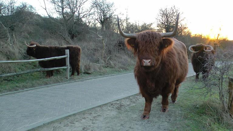 Highlander cows roam freely around Zuid-Kennemerland National Park