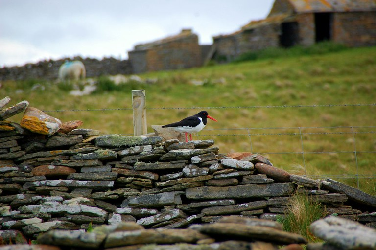 Oystercatcher at Papa Westray | © Kristel Jeuring/Flickr