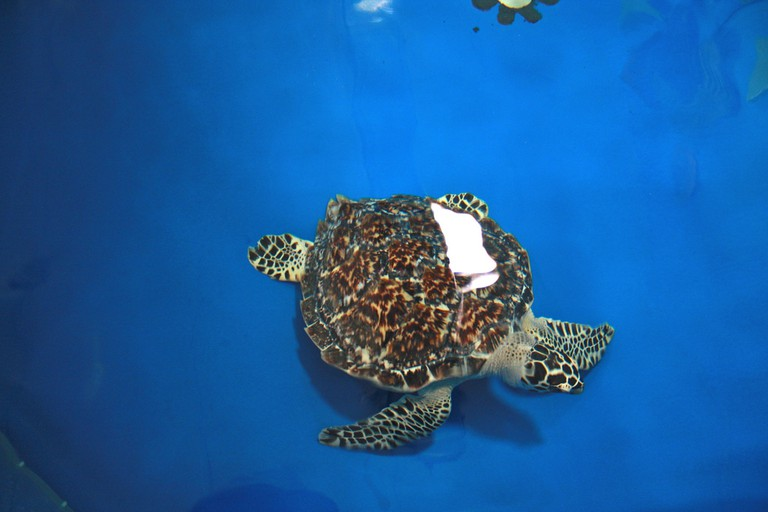 A recovering sea turtle at The Turtle Hospital, Marathon