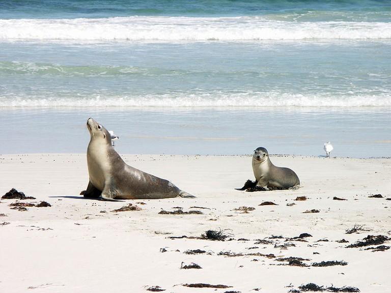 Sea lion and pup in Seal Bay – Kangaroo Island