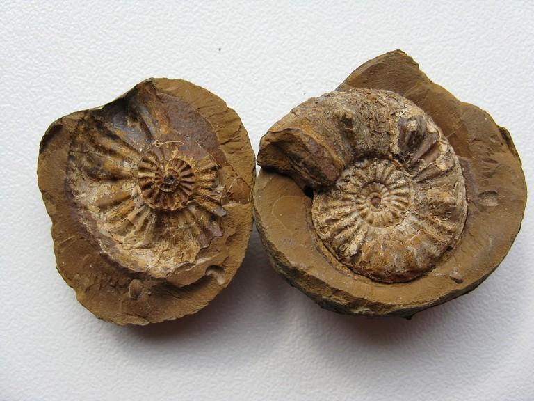 Ammonites | Public Domain/Pixabay