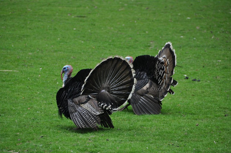 Turkeys | Public Domain/Pixabay