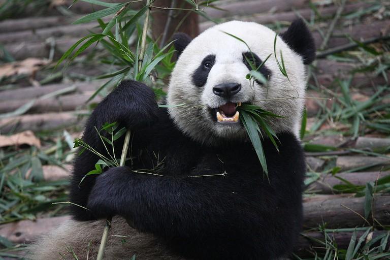 Giant panda © Chen Wu/WikiCommons