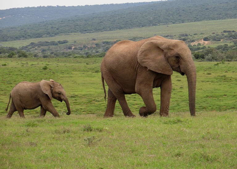 Elephants, Addo Elephant Park, Eastern Cape