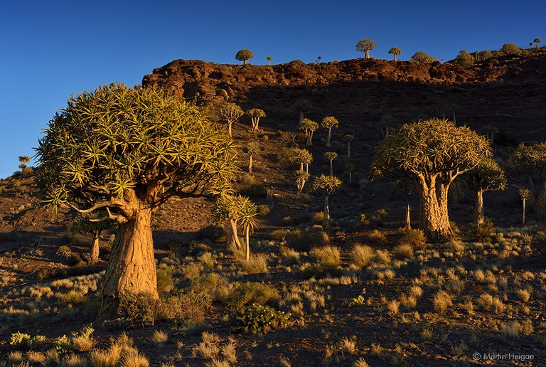 Quiver Tree Forest, Northern Cape