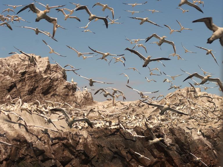 Northern Gannets On Bass Rock | © Nicola Romanò/Flickr