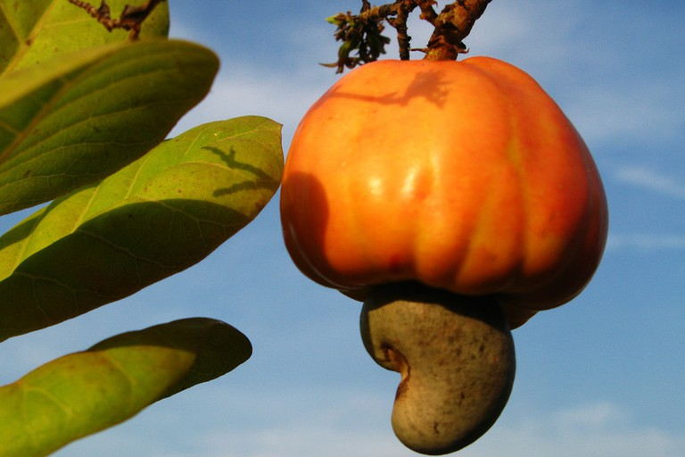 The cashew nut fruit