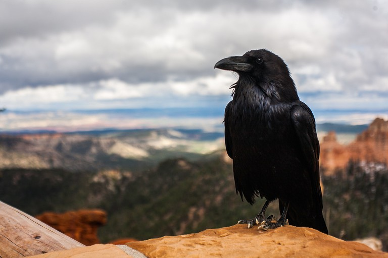 A creepy crow