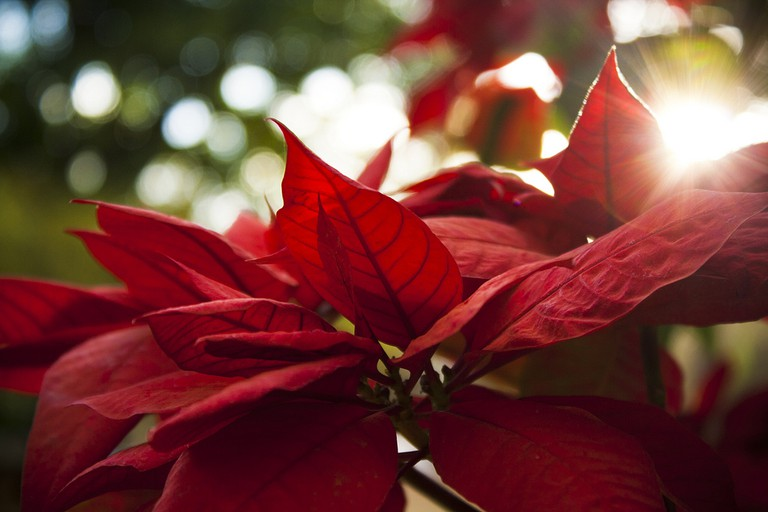 Poinsettia I © Guilherme Cardoso/Flickr