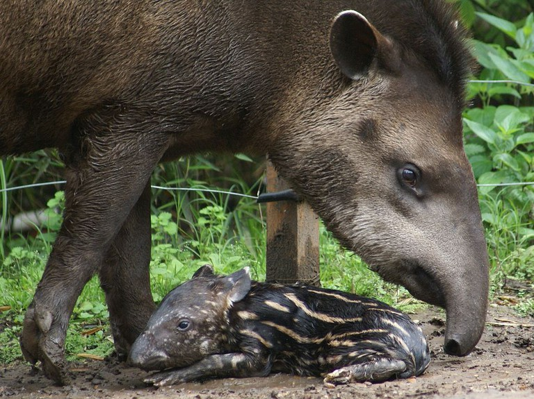 A Tapir, native to Brazil |© Mslecuona/WikiCommons