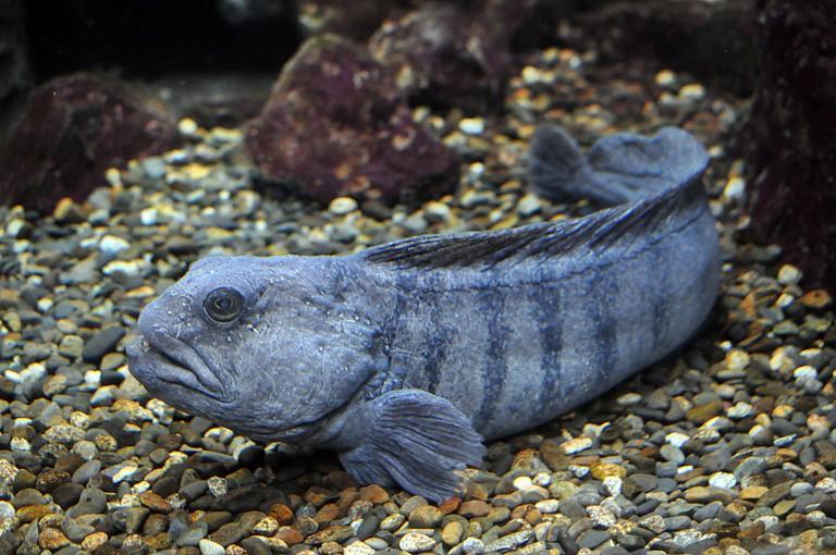 Wolf fish | © Citron/WikiCommons