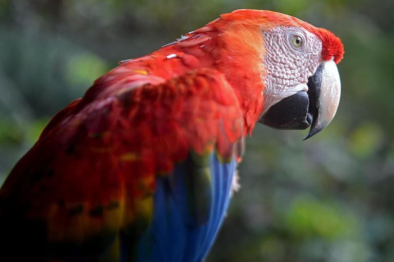 Scarlet macaw |© Geoff Gallice/WikiCommons