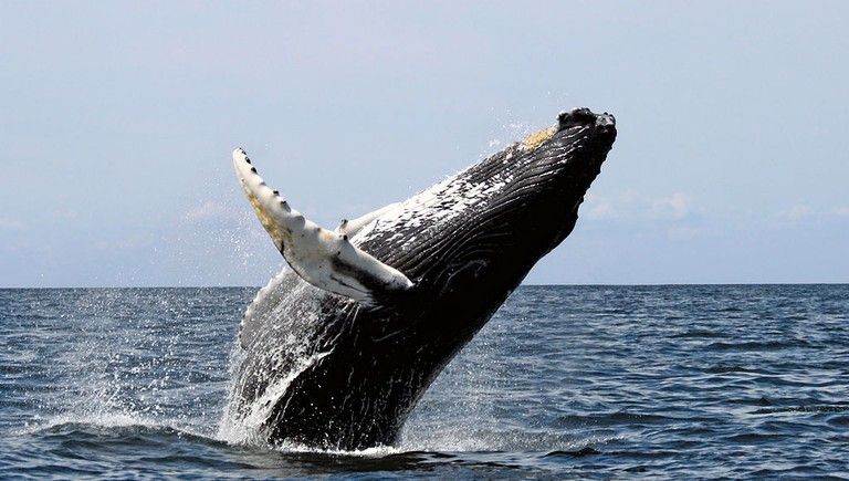 Humpback whale |© Whit Welles/WikiCommons