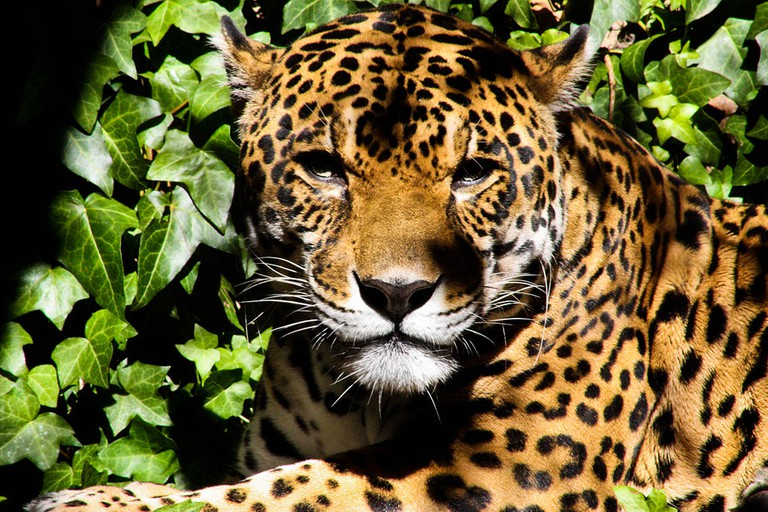 Jaguar |© danhuse/WikiCommons