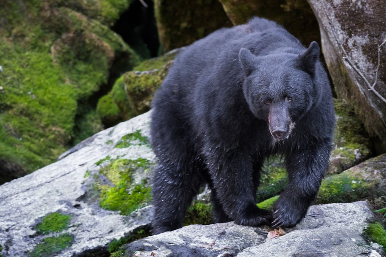 Wild Black Bear at Anan Bear Observatory | © Andrew E. Russell/Flickr