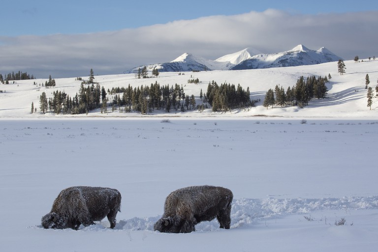 Bison on Swan Lake Flat | © Yellowstone National Park/Flickr