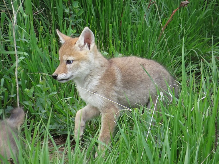 Coyote pup   © nature80020/Flickr