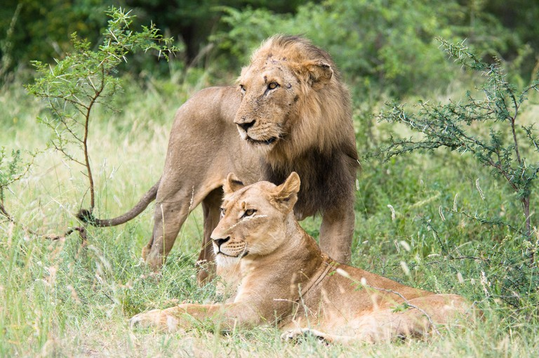 A male and female lion