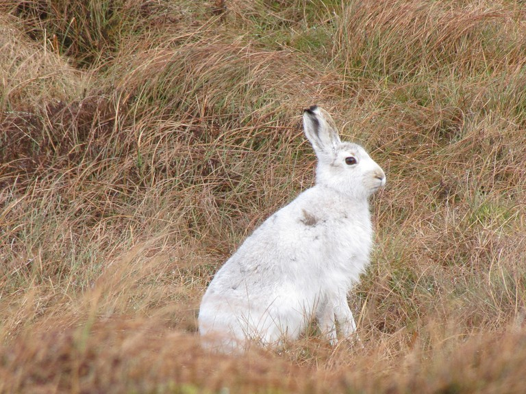 Mountain Hare At East Dunbartonshire, Scotland | © Vince Smith/Flickr