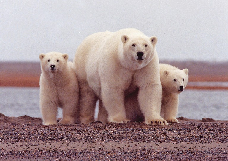 Polar bear with young, Arctic NWR | © U.S. Fish and Wildlife Service Headquarters/Flickr