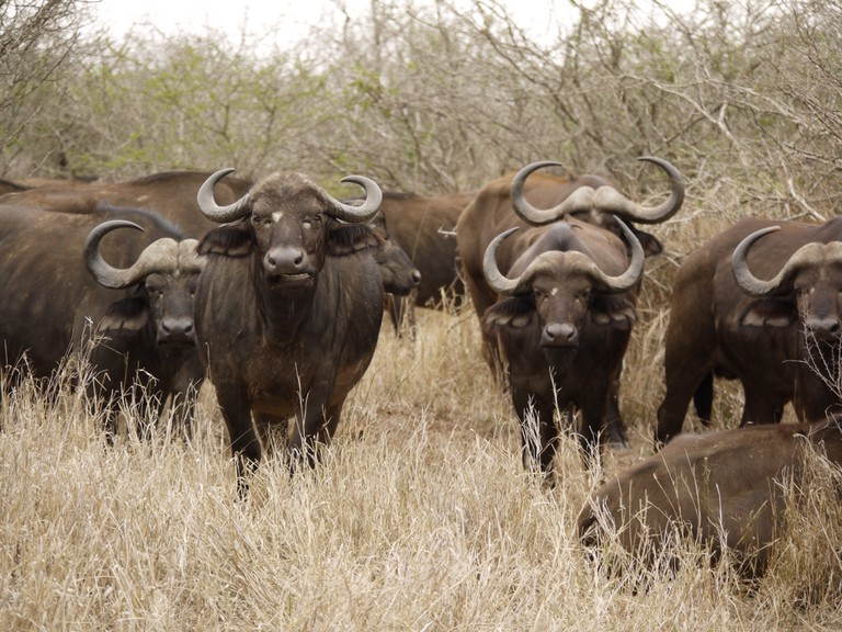 A herd of Cape Buffalo